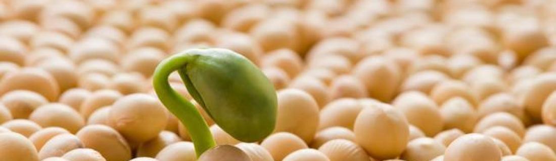 Особенности выращивания сои