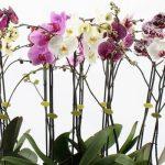 Тля на орхидеях — как бороться в домашних условиях?